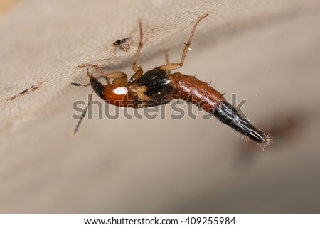 Rove beetle, staphylinidae on polypore