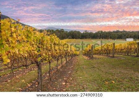 Rovs of yellow leafed fines at Vineyard in Yarra Valley, Victoria, Australia - stock photo