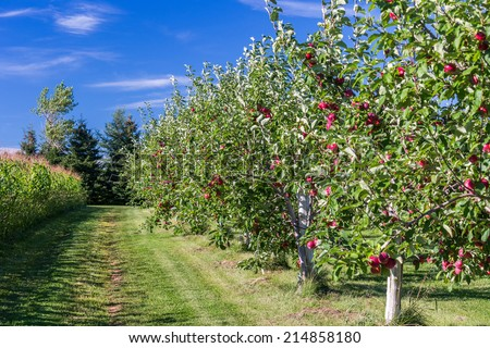 Row of apple trees in an apple orchard. - stock photo