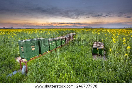 Row of Beehives in a Cole seed field at sunset in the Province of Groningen, Netherlands - stock photo