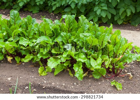 Row of beetroot plants in a vegetable plot - stock photo