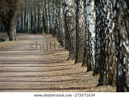 Row of birch trees in the park, perspective view - stock photo