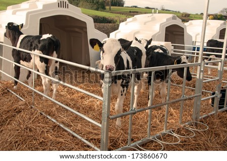 Row of Calf Igloos on a dairy farm.  Designed to keep young stock safe and healthy through the winter season  - stock photo