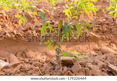 row of cassava tree. - stock photo