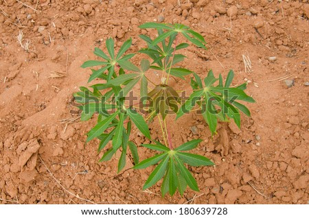 row of cassava tree in field. - stock photo