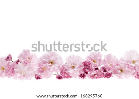 Row of cherry blossom flowers as flower border with copy space isolated on white background - stock photo