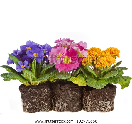 row of colorful blooming primrose primula polyanthus isolated on white - stock photo
