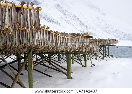 Row of dried cod fish hung outside. Northern Norway.