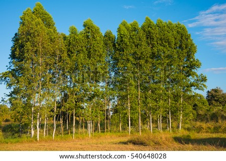 Row of eucalyptus tree and blue sky background image.