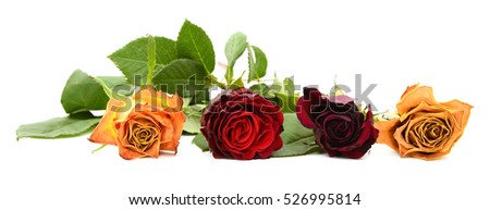 Row of four fading rose blooms in yellow, red, burgundy and orange, isolated on a white background