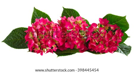 Row of Fresh pink hortensia flowers isolated on white background - stock photo