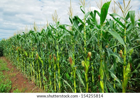 Row of green corn (maize) growing in the field during summer  - stock photo