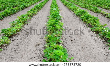 Row of Green strawberry in peak bloom at Puyallup, Washington, USA. Once they bloom, it takes 35 days for a strawberry to grow. - stock photo