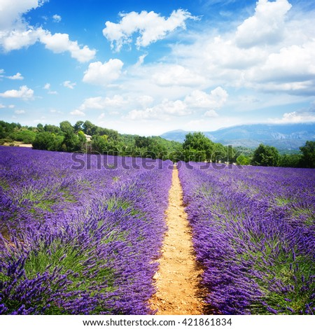 row of lavender field with summer blue sky, France, retro toned - stock photo