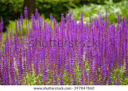Row of Lavender Flowers. Summer season. Close up. Violet lavender on green field background. Strip of bright violet flowers with place for your own text.  - stock photo