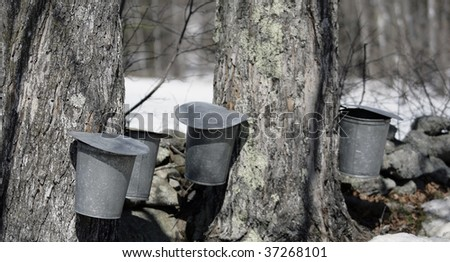 Row of Maple Sap buckets on trees in spring - stock photo
