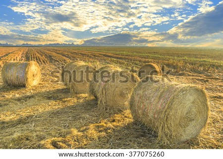 Row of paddy straws with sunset background  - stock photo