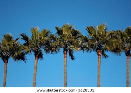 Row of Palms - stock photo