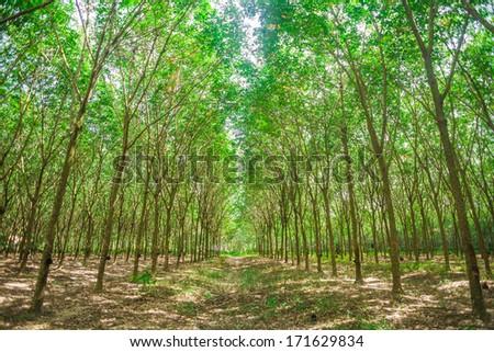 Row of para rubber trees, sun light - stock photo