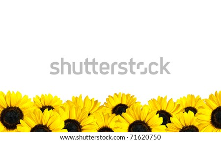 Row of Perfect Fresh Sunflowers Isolated on White. Helianthus theme - stock photo