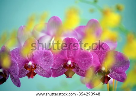Row of pink orchid blooms overlayed with unsharp yellow orchid blooms - stock photo