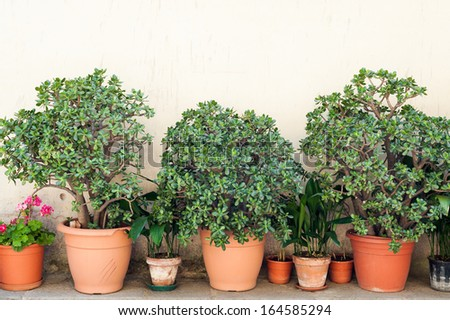 Row of pots with crassula and red geranium flowers on a yellow wall background. The location is an small town in the middle of the Cilento and Vallo di Diano National Park (Campania, Italy). - stock photo