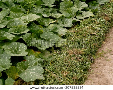 row of pumpkins planted to the bottom of irrigation ditch covered with heaps of weeds as mulch in arid zone - stock photo