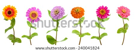 Row of several color Zinnia flowers isolated on white  - stock photo