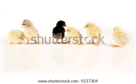 Row of six baby chickens on white - stock photo