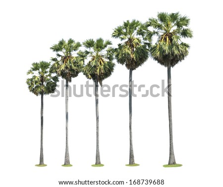 Row of sugar palm tree isolated on white background  - stock photo