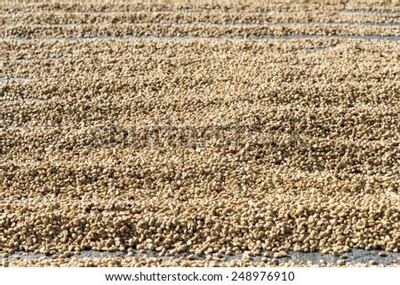 row of sun dried green coffee beans - stock photo