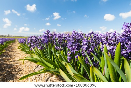 Row of the blooming hyacinth against blue sky - stock photo