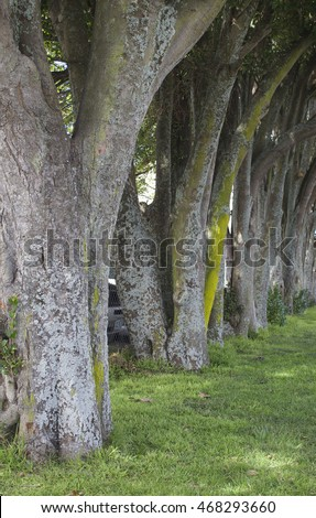 Row of trees at Avondale, Auckland, New Zealand