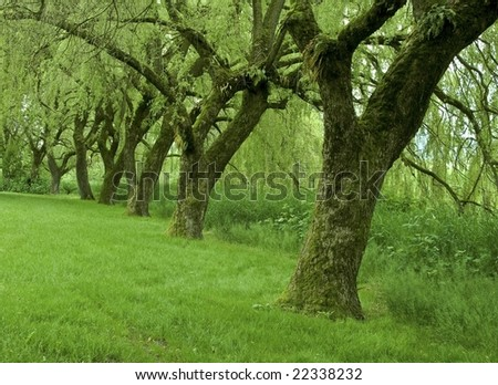 row of willow trees