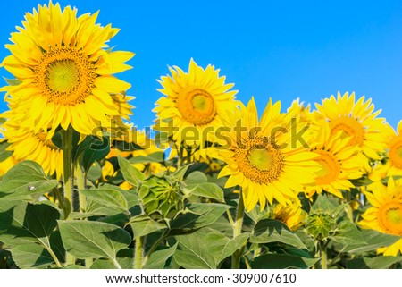 Row of yellow sunflower on a background of blue sky, close up - stock photo