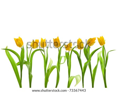 Row of yellow tulips isolated on white background - stock photo