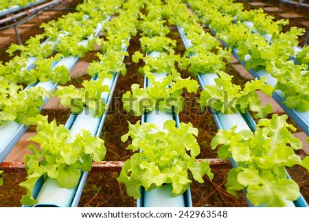 Row of young green lettuce/ hydroponics vegetable farm in Thailand.  - stock photo