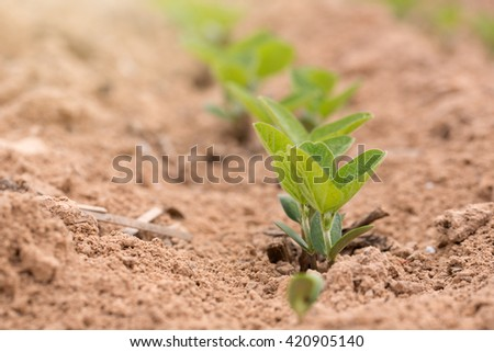 Row of Young Soybean Plants Growing in a Louisiana Field - stock photo