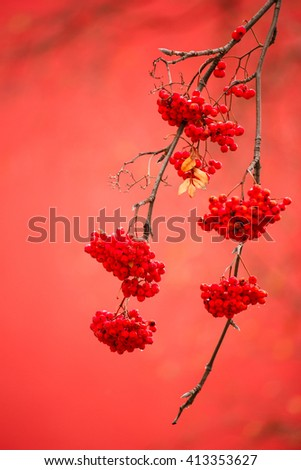 Rowan  ashberry rowan berries with shallow focus background