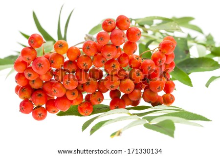 Rowan berries and leaves on white background