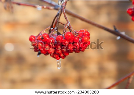 Rowan berries covered with ice after the frozen rain in the winter - stock photo