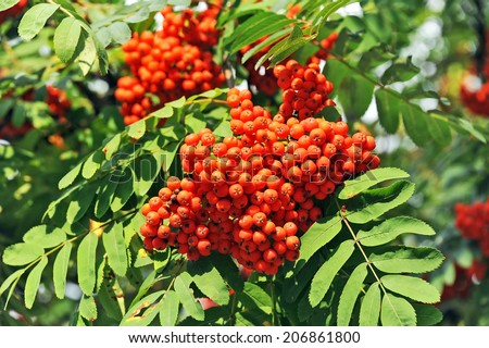 Rowan berries, Mountain ash (Sorbus) tree with ripe berry - stock photo