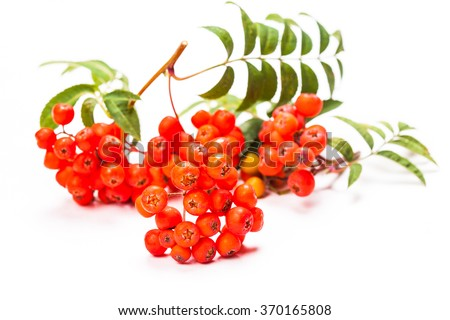 Rowan berries on a twig with leaves isolated on white - stock photo