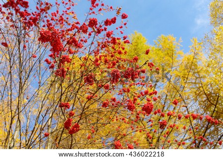 rowan branches with ripe red berries in autumn - stock photo