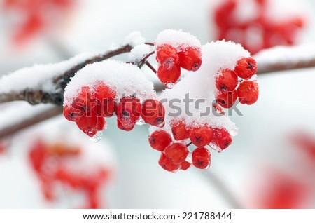 Rowan in snow closeup - stock photo