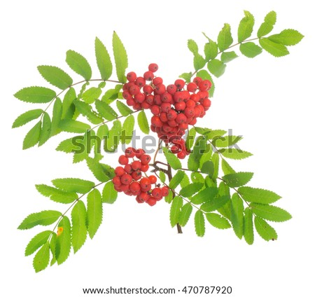 Rowan, Sorbus aucuparia twig with berries isolated on white background