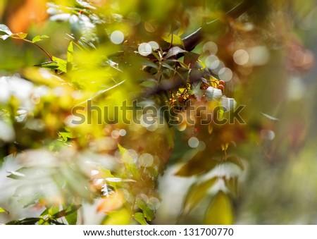 Rowan. Sun glare. - stock photo