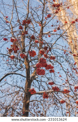 Rowan tree in the snow, winter shot. - stock photo