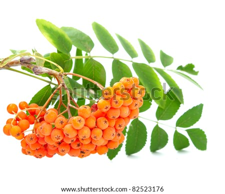 rowanberry on a white background