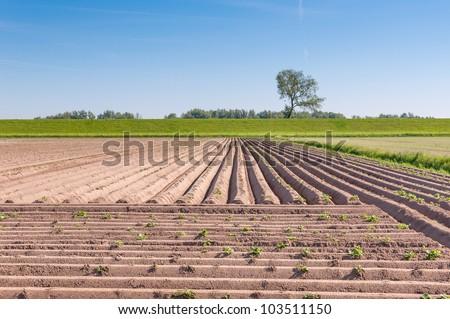 Rows in a Dutch potato field behind a dike. - stock photo